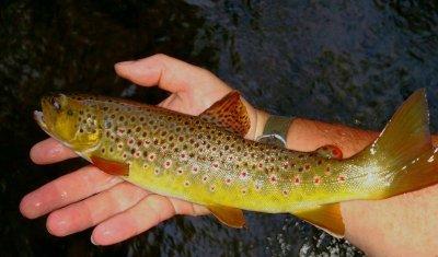 fresh-trout