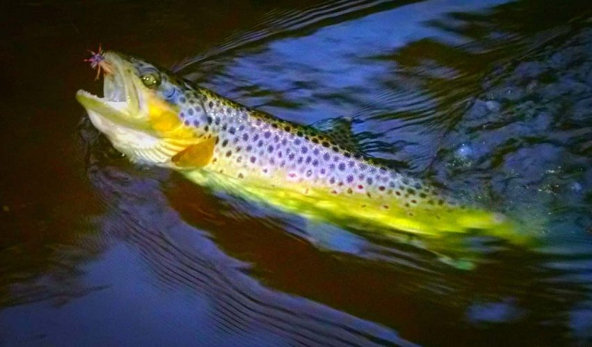 trout-in-water